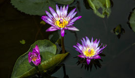 Lotus. Blossom in a pond in Thailand Stock Photography