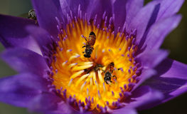 Lotus blossom. Purple Lotus Blossom with bee Stock Photos