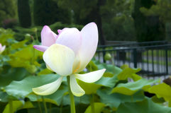 Lotus Blossom in the Sigurta Gardens near Lake Gards Royalty Free Stock Photography