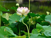 Lotus Blossom, St. Louis, Mo Royalty Free Stock Photography