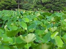 Lotus Blossom, St. Louis, Mo Royalty Free Stock Photo