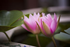 Lotus blossom Stock Photos
