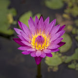 Lotus blossom. 