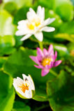 Lotus blossom white and violet Stock Photos