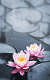 Lotus blossoms Stock Images