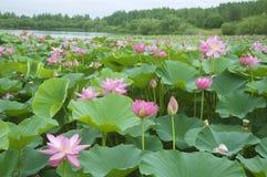 Free Lotus Blossoms Stock Photos - 32564073