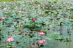 Lotus blossoms Royalty Free Stock Photo