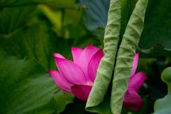 A curly lotus leaf was blocked in front of the blooming lotus. stock image