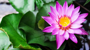 Lotus blossoms or water lily flowers blooming Stock Photography