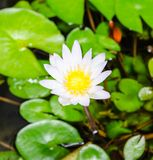 Lotus blossoms or water lily flowers blooming on pond Royalty Free Stock Images