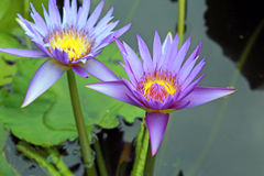Lotus blossoms or water lily flowers spring bloomi Royalty Free Stock Photos