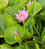 Lotus blossoms or water lily flowers spring bloomi Stock Photography