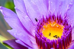 The lotus blossoms and water to lure insects down to the lotus. The lotus blossoms and water to lure insects down lotus. There are some insects at the trap. And stock image