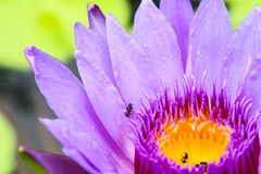 The lotus blossoms and water to lure insects down to the lotus. The lotus blossoms and water to lure insects down lotus. There are some insects at the trap. And stock photography