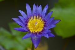 Lotus blu Fotografia Stock