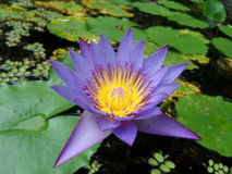 Lotus blu Immagine Stock