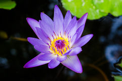 Lotus. The blue lotus in the lake Royalty Free Stock Photos