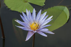 Lotus blue white spot color. Lotus flower blue white spot color in the pond Stock Photo