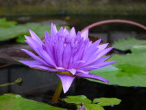 Lotus bluelotus flower Royalty Free Stock Photos