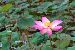 Lotus-Blume stockfoto