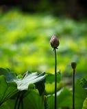 Lotus-Blume Stockbilder