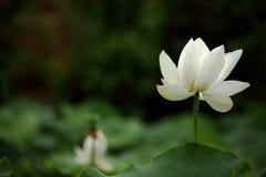 Lotus-Blume Lizenzfreie Stockfotografie