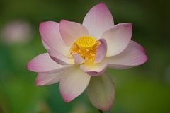 Lotus-Blume, die auf dem grünen Gebiet blüht Lizenzfreie Stockfotos