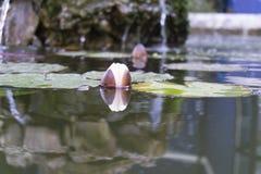 Lotus-Blume, die auf dem Wasser von einem kleinen See stillsteht stockbild