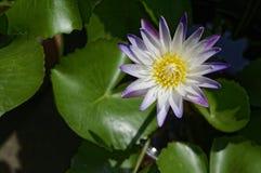 Lotus-Blume, die im Licht des hellen Sonnenscheins blüht Lizenzfreies Stockbild