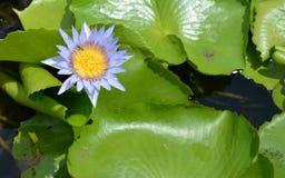 Lotus-Blume, die im Teich blumming ist Lizenzfreies Stockbild