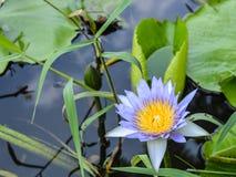Lotus-Blume, die im Teich blumming ist Stockfoto