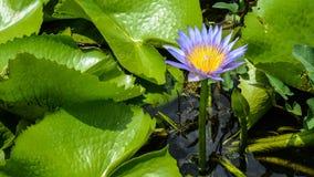 Lotus-Blume, die im Teich blumming ist Lizenzfreie Stockbilder