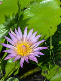 Lotus-Blume, die im Teich blumming ist Stockbilder