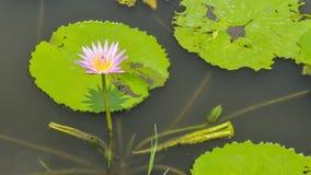Lotus-Blume, die im Teich blumming ist Lizenzfreie Stockfotos