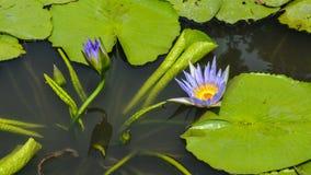 Lotus-Blume, die im Teich blumming ist Stockfotos