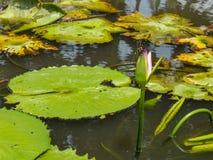 Lotus-Blume, die im Teich blumming ist Lizenzfreies Stockfoto