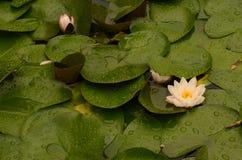 Lotus-Blume, die in lilypad Teich blüht Stockfotos