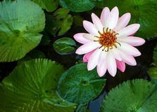 Lotus-Blume für Designhintergrund Lizenzfreie Stockfotografie