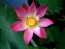 Lotus-Blume gesehen von oben stockfotos