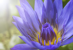 Lotus-Blume im Purpur Stockfoto