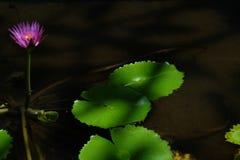 Lotus-Blume, ist eine Blume, die im Wasser w?chst in etwas Mythologien und in Glauben sind heilige Blumen stockfotografie