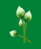 Lotus-Blume lokalisiert auf grünem Hintergrund Lizenzfreie Stockbilder