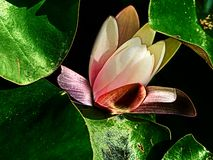 Lotus-Blume mit grünen Blättern lizenzfreie stockfotografie