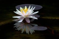 Lotus-Blume oder -Seerose blüht das Blühen im Teich Lizenzfreie Stockbilder