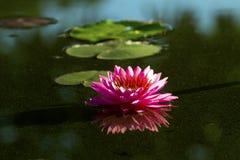 Lotus-Blume oder -Seerose blüht das Blühen im Teich Stockfotografie