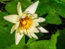 Lotus-Blume schwimmt in Teich Stockfoto