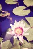 Lotus-Blume, selektiver Fokus Stockbild