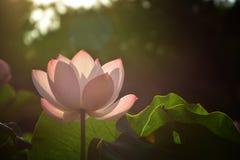 Lotus-Blume in Seoul Stockbild