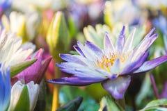 Lotus-Blume (tropische Seerose) Stockfotos