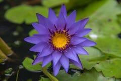 Lotus-Blume (tropische Seerose) Lizenzfreie Stockfotografie